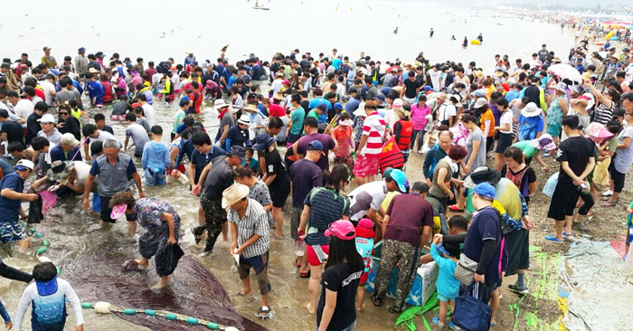 ▲ 포항 월포해수욕장의 특색 있는 축제인 `후릿그물` 체험에는 해마다 수많은 피서객이 몰리며 큰 인기를 끌고 있다.                                                                                                                 /포항시 제공
