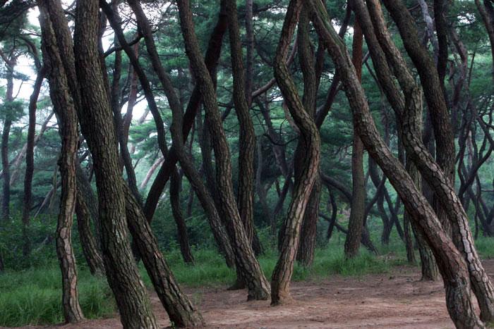 ▲ 그 옛날 신라와 마찬가지로 오늘날 경주를 상징하는 것 중 하나는 울울창창한 소나무 숲이다. 안개 낀 새벽. 그곳을 거닐면 법흥왕과 이차돈의 목소리가 들릴 듯하다.