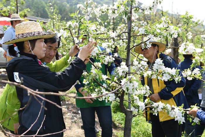 ▲ 귀농·귀촌인들이 사과꽃 따기 체험을 하고 있다.
