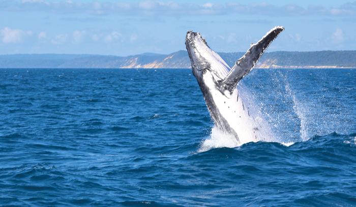 ▲ 호주 선샤인코스트에선 바다 위로 솟아오르는 고래를 볼 수 있다.