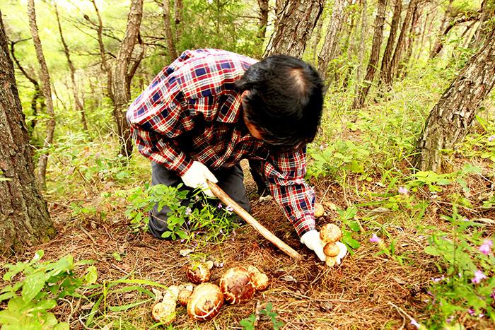 ▲ 송이버섯을 조심스럽게 채취하고 있는 영덕군 농민.