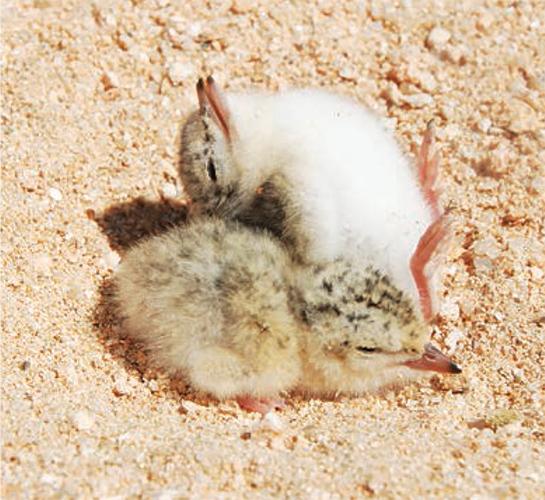 ▲ 쇠제비갈매기 새끼들이 모래밭에서 일광욕을 하고 있다.