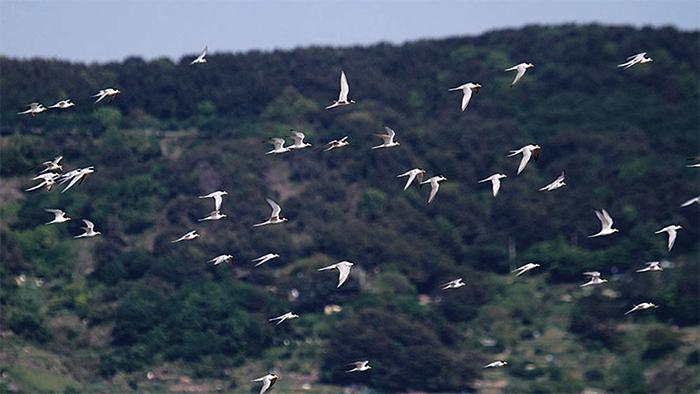 ▲ 안동호 모래섬을 날아오른 쇠제비갈매들이 힘찬 비상을 하고 있다.