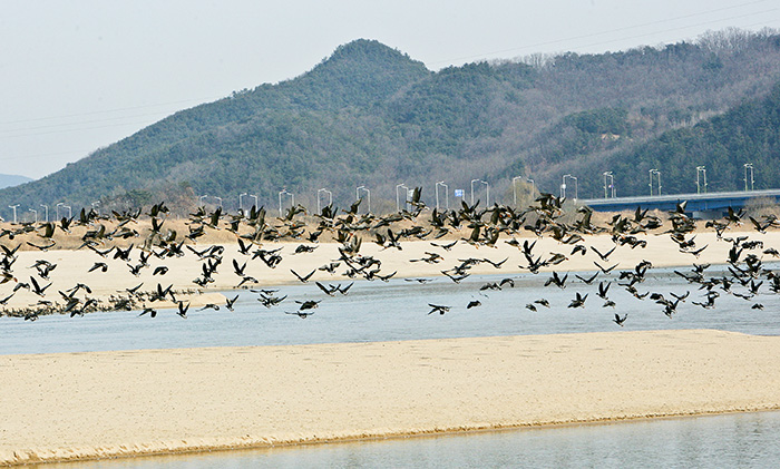 ▲ 낙동강변 모래위를 비행하는 철새들.